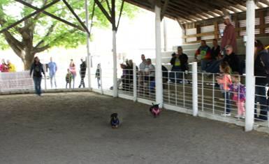 4-28 Weenie Dog Race