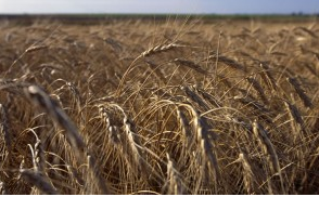 Report offers more upbeat forecast for Kansas wheat crop
