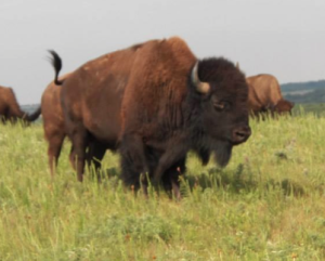 Buffalo Auction Coming to McPherson County