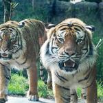 2 tiger brothers go on display at Kansas zoo