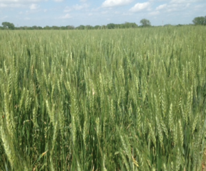 Winter wheat coloring as harvest draws closer in Kansas