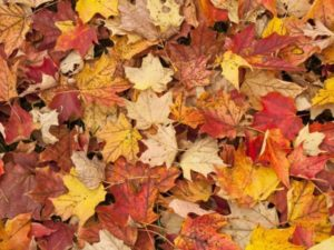 Schedule: Curbside leaf collection continues