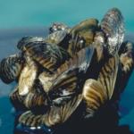 Zebra mussels found In Kansas Reservoir