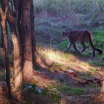 Game Wardens: Mountain lion reported in NW Kansas