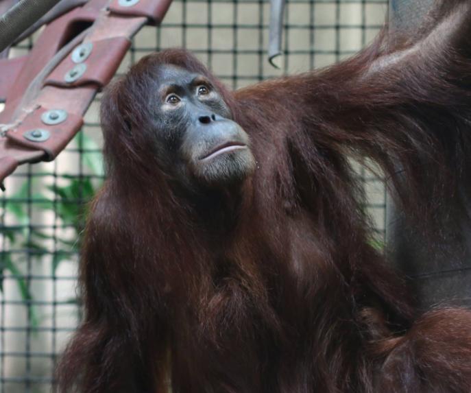 Kansas Zoo Put On Lockdown After Report Of Orangutan Escape