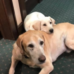 Dog who brought comfort to Kansas funeral home mourners dies