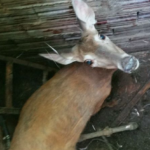 Doe rescued from Kansas well pit