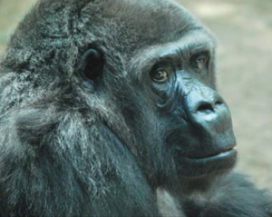49-year-old Kansas zoo gorilla recovering after medical evaluation
