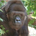 Remembrance service set for Kansas zoo gorilla
