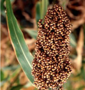 Kan. sorghum growers fear China tariffs could cost them dearly