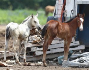 Sheriff: 12 horses in poor condition removed from Kansas farm